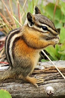 Chipmunk The Animals Of British Columbia Canada