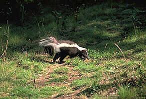 Skunk - BC Animals